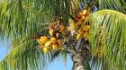 Palmenfrüchte